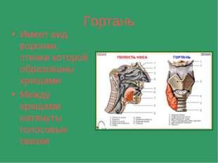 Гортань Имеет вид воронки, стенки которой образованы хрящами Между хрящами на