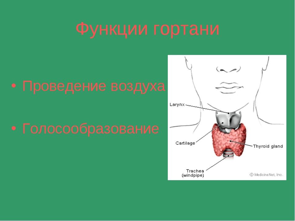 Функции гортани Проведение воздуха Голосообразование