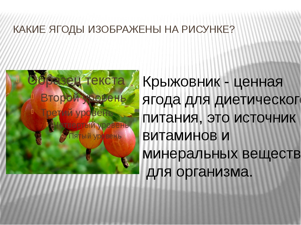 КАКИЕ ЯГОДЫ ИЗОБРАЖЕНЫ НА РИСУНКЕ? Крыжовник - ценная ягода для диетического...