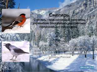 Снегирь Снегирь - красногрудый красавец, украшение бескрайних российских бело