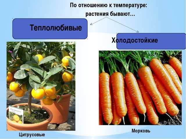 Теплолюбивые По отношению к температуре: растения бывают… Холодостойкие Цитр...