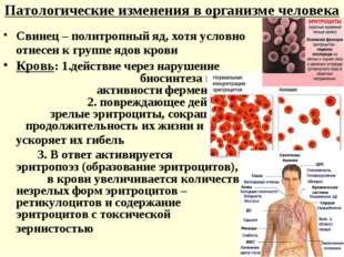 Патологические изменения в организме человека Свинец – политропный яд, хотя у
