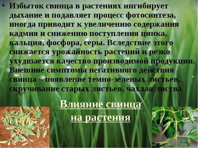 Влияние свинца на растения Избыток свинца в растениях ингибирует дыхание и по...