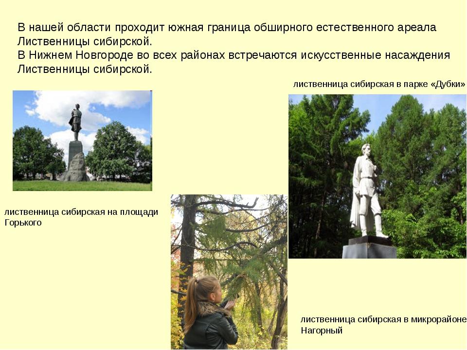 В нашей области проходит южная граница обширного естественного ареала Листвен...