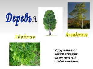 У деревьев от корня отходит один толстый стебель –ствол.