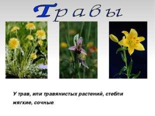 У трав, или травянистых растений, стебли мягкие, сочные.