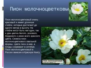 Пион молочноцветковый Пион молочноцветковый очень красивый и имеет длинные ст