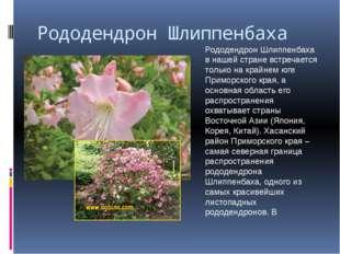 Рододендрон Шлиппенбаха Рододендрон Шлиппенбаха в нашей стране встречается то