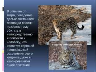 В отличие от тигра, поведение дальневосточного леопарда вполне позволяет ему