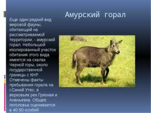 Амурский горал Еще один редкий вид мировой фауны, обитающий на рассматриваем