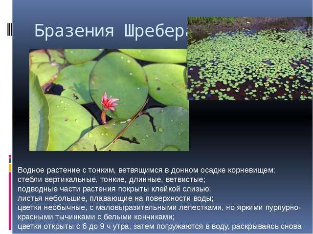 Бразения Шребера Водное растение с тонким, ветвящимся в донном осадке корневи...