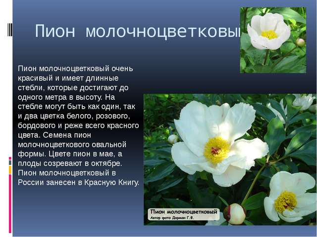 Пион молочноцветковый Пион молочноцветковый очень красивый и имеет длинные ст...
