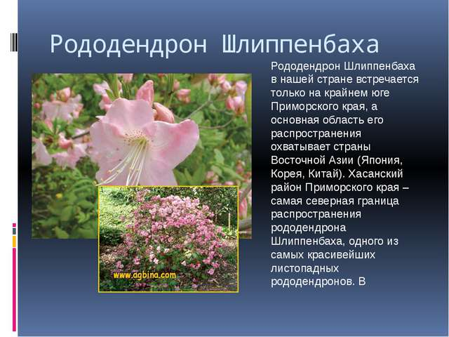 Рододендрон Шлиппенбаха Рододендрон Шлиппенбаха в нашей стране встречается то...