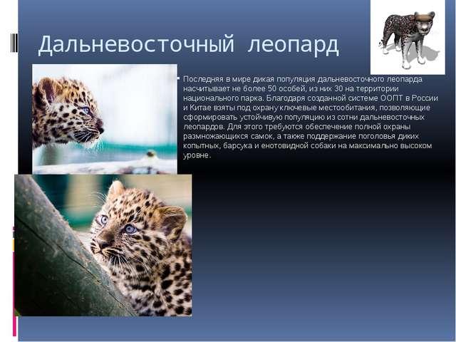 Дальневосточный леопард Последняя в мире дикая популяция дальневосточного лео...