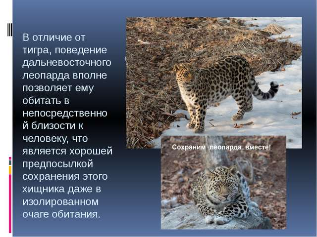 В отличие от тигра, поведение дальневосточного леопарда вполне позволяет ему...