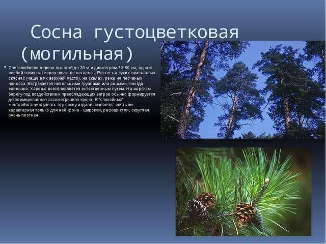 Сосна густоцветковая (могильная) Светолюбивое дерево высотой до 30 м и диаме...
