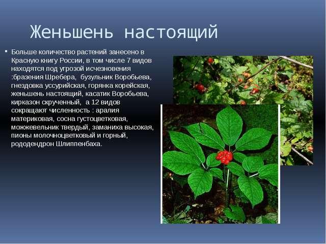 Женьшень настоящий Больше количество растений занесено в Красную книгу Росси...