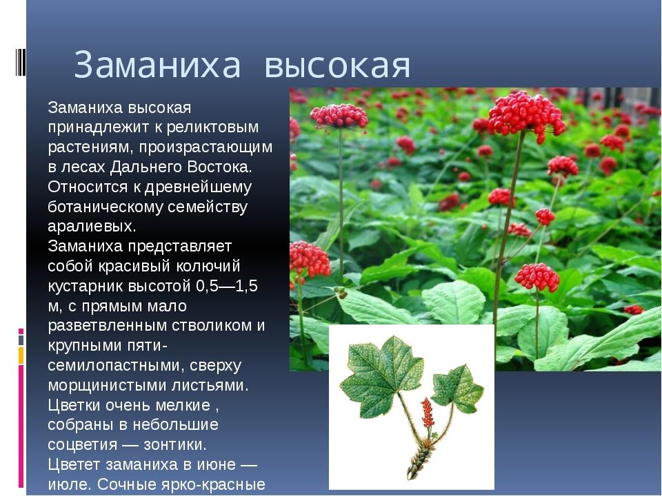 Заманиха высокая Заманиха высокая принадлежит к реликтовым растениям, произра...