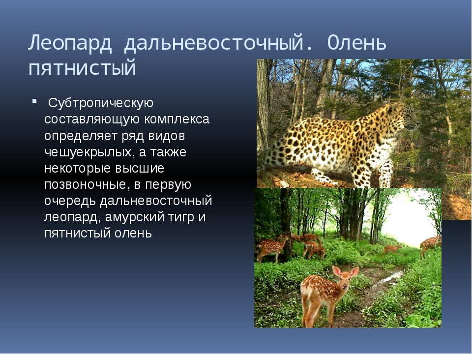 Леопард дальневосточный. Олень пятнистый Субтропическую составляющую комплекс...
