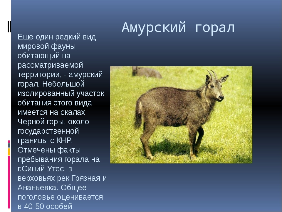 Амурский горал Еще один редкий вид мировой фауны, обитающий на рассматриваем...