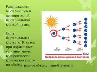 Размножаются бактерии путём деления одной бактериальной клеткой на две. Одна
