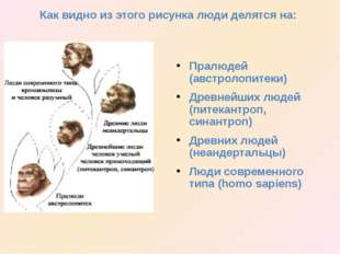 Пралюдей (австролопитеки) Древнейших людей (питекантроп, синантроп) Древних