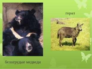 белогрудые медведи горал