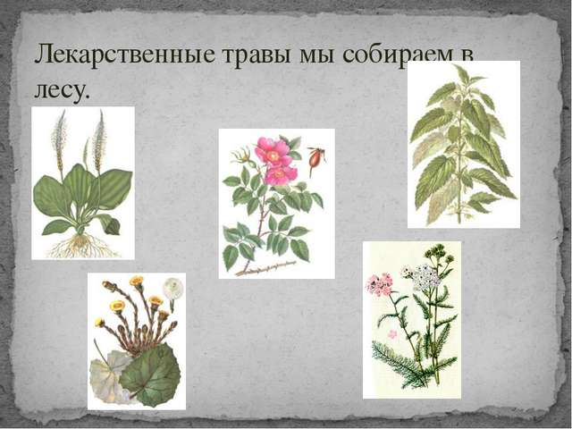 Лекарственные травы мы собираем в лесу.