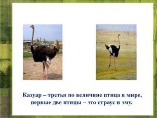 Казуар – третья по величине птица в мире, первые две птицы – это страус и эму.