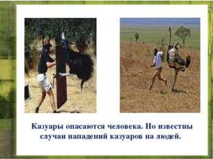 Казуары опасаются человека. Но известны случаи нападений казуаров на людей.