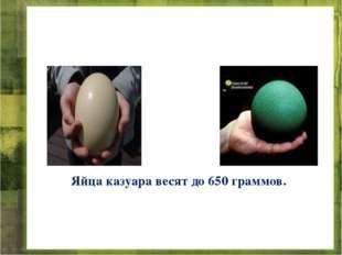 Яйца казуара весят до 650 граммов.