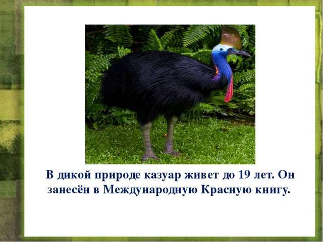 В дикой природе казуар живет до 19 лет. Он занесён в Международную Красную кн...
