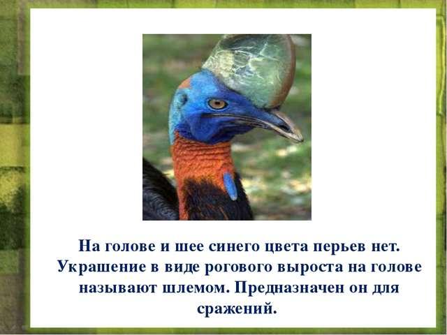 На голове и шее синего цвета перьев нет. Украшение в виде рогового выроста на...
