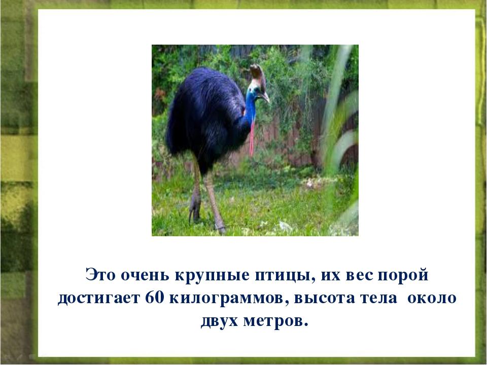 Это очень крупные птицы, их вес порой достигает 60 килограммов, высота тела о...