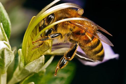 Фотографии пчёл. Высокое качество