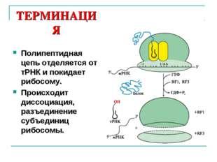 ТЕРМИНАЦИЯ Полипептидная цепь отделяется от тРНК и покидает рибосому. Происхо