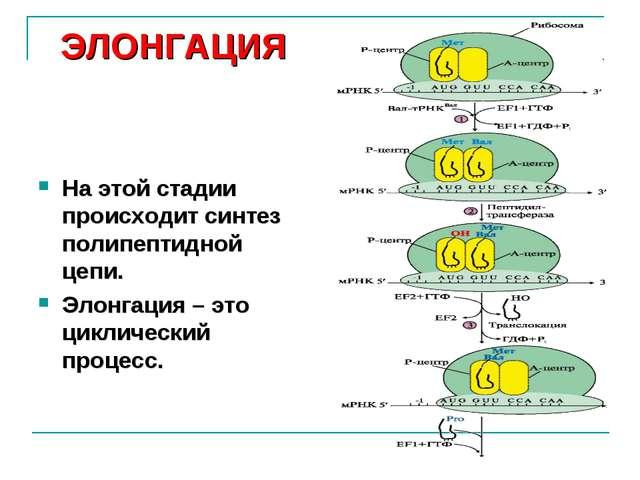 ЭЛОНГАЦИЯ На этой стадии происходит синтез полипептидной цепи. Элонгация – эт...