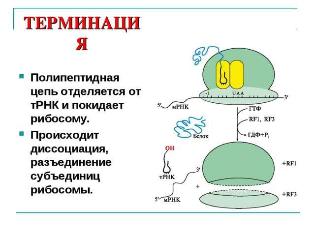 ТЕРМИНАЦИЯ Полипептидная цепь отделяется от тРНК и покидает рибосому. Происхо...