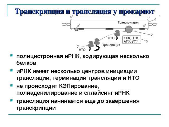 Транскрипция и трансляция у прокариот полицистронная иРНК, кодирующая несколь...