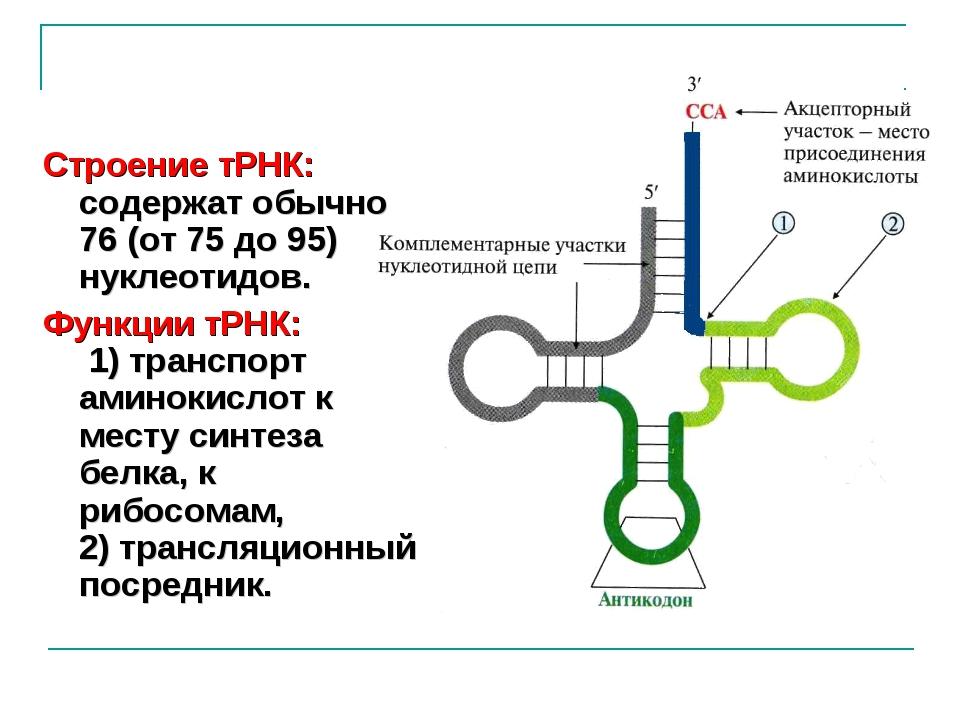 Строение тРНК: содержат обычно 76 (от 75 до 95) нуклеотидов. Функции тРНК: 1)...