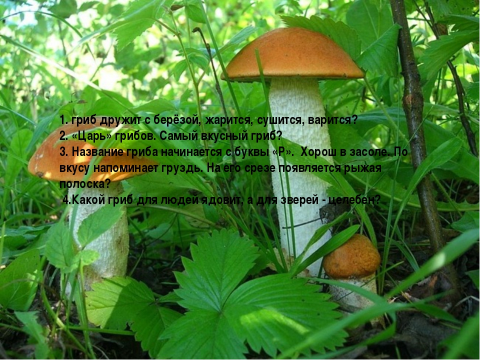1. гриб дружит с берёзой, жарится, сушится, варится? 2. «Царь» грибов. Самый...