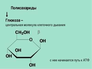 Глюкоза – центральная молекула клеточного дыхания Полисахариды  с нее начина