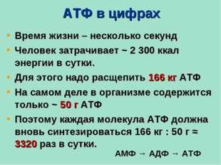 АТФ в цифрах Время жизни – несколько секунд Человек затрачивает ~ 2 300 ккал