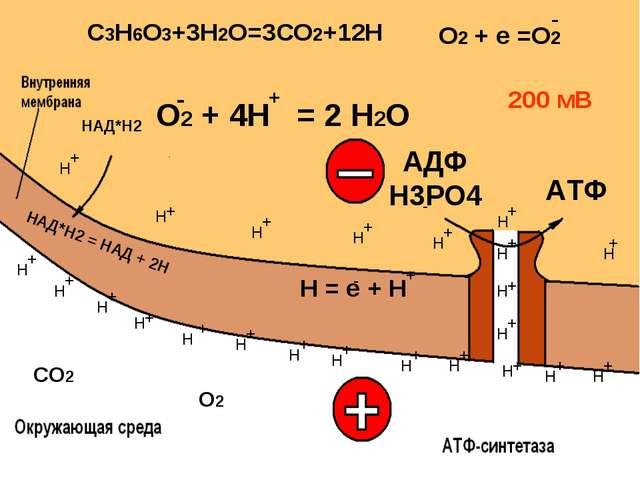 СО2 Н = е + Н О2 + 4Н = 2 Н2О + О2 200 мВ АДФ Н3РО4 АТФ + + + + + + + + + + +...