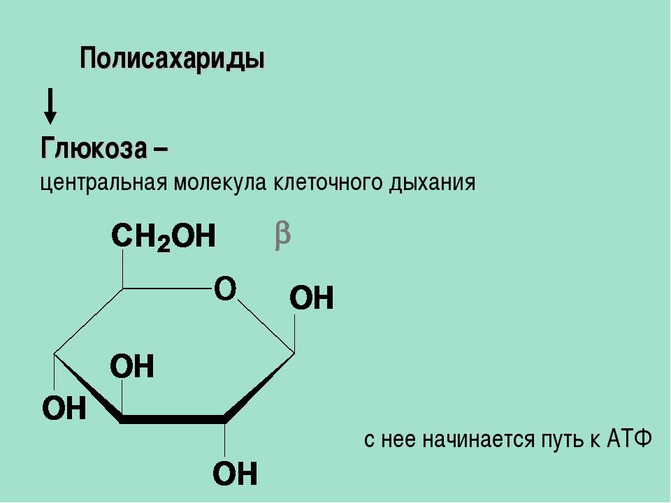 Глюкоза – центральная молекула клеточного дыхания Полисахариды  с нее начина...