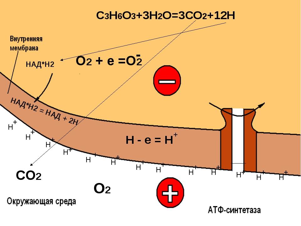 НАД*Н2 = НАД + 2Н СО2 О2 + + + + + + + + + + + + Н Н Н Н Н Н Н Н Н Н Н Н Н +...