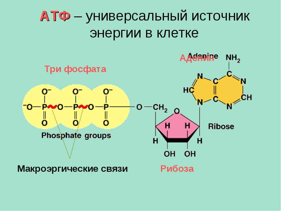 АТФ – универсальный источник энергии в клетке Макроэргические связи