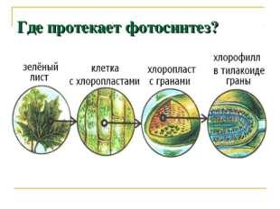 Где протекает фотосинтез?