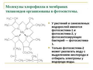 Молекулы хлорофилла в мембранах тилакоидов организованы в фотосистемы. У раст