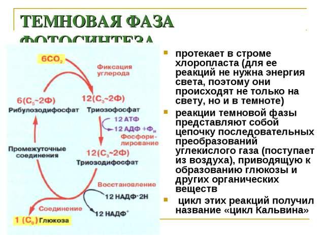 ТЕМНОВАЯ ФАЗА ФОТОСИНТЕЗА протекает в строме хлоропласта (для ее реакций не н...